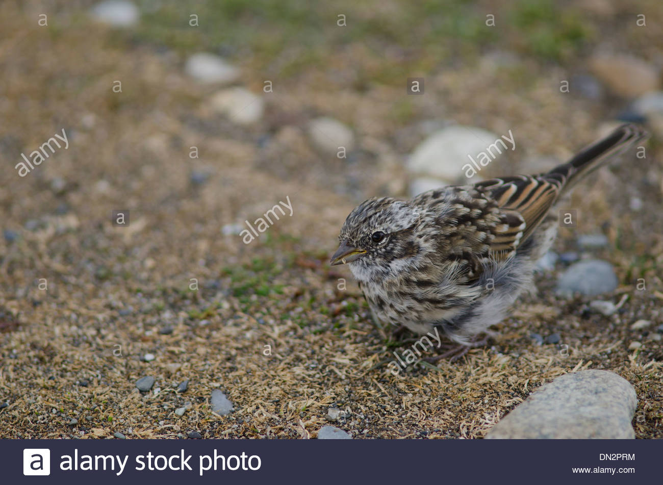 Juvenile Rufous-collared Sparrow (Zonotrichia capensis) feeding on the ground. Stock Photo