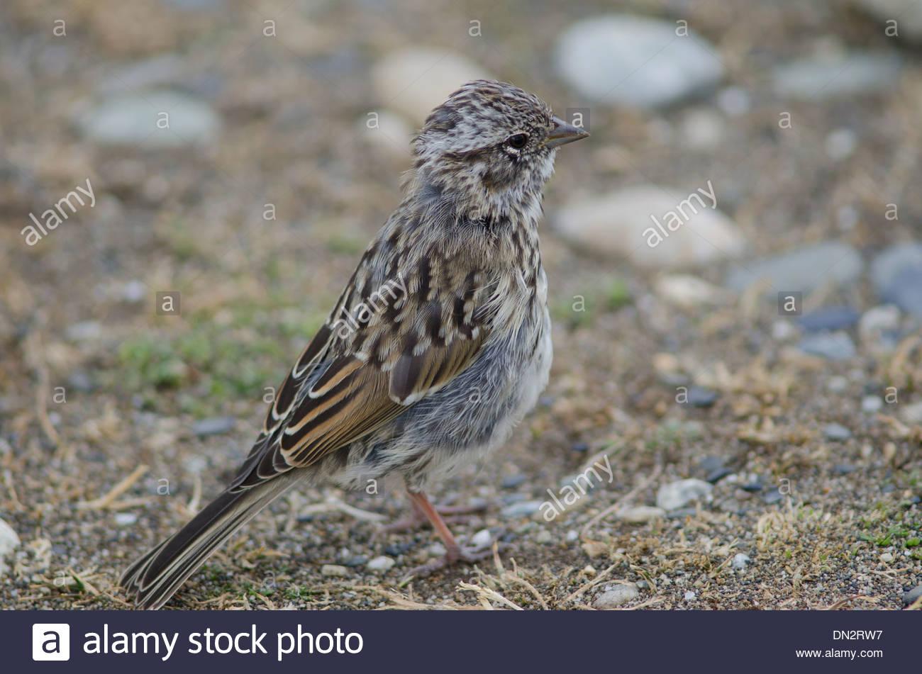 Juvenile Rufous-collared Sparrow (Zonotrichia capensis) feeding on the ground. Stock Photo