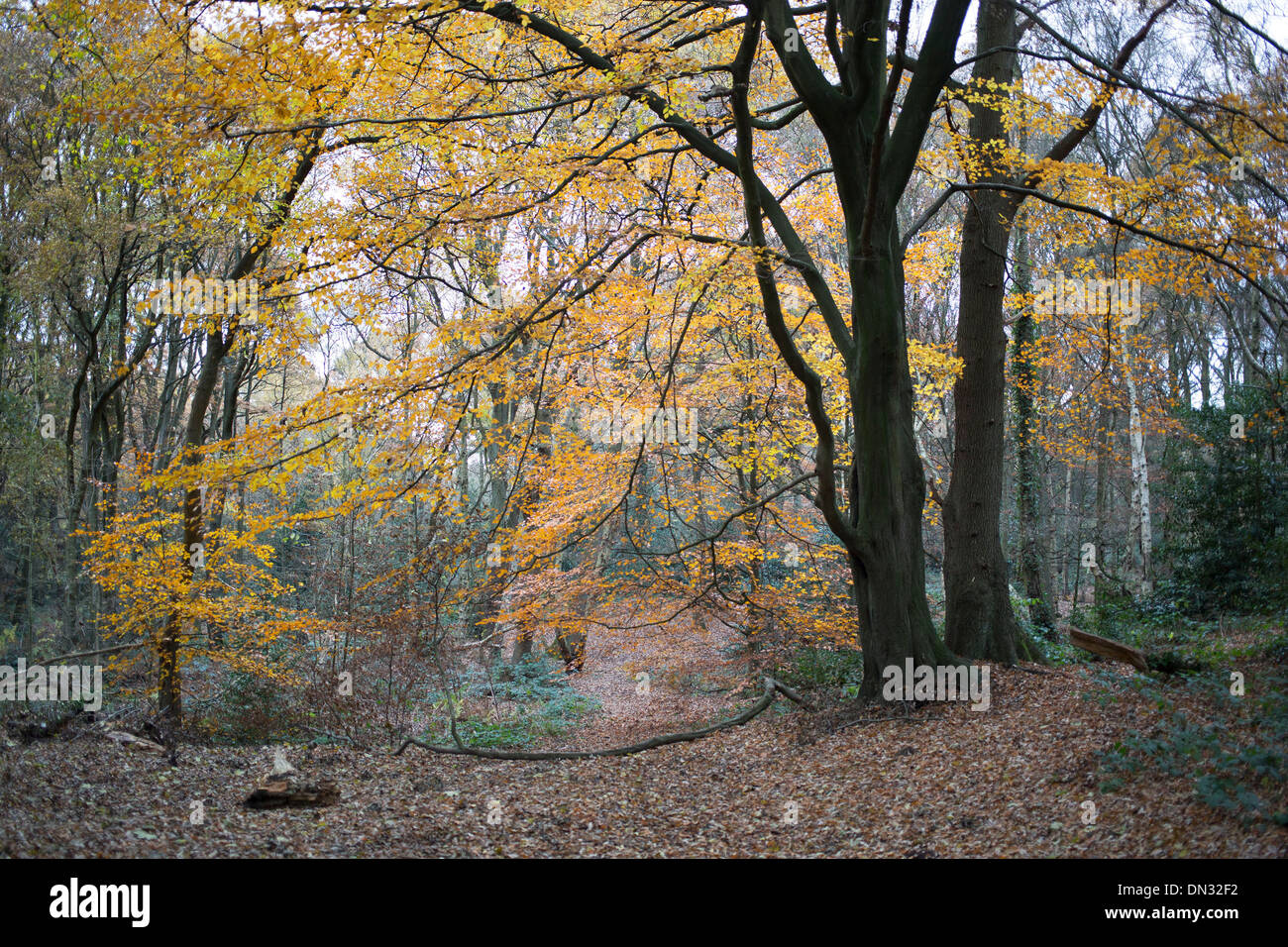 Sandy Heath, ancient woodland and part of Hampstead Heath (locally known as 'the Heath') is a large, ancient London park. UK - Stock Image