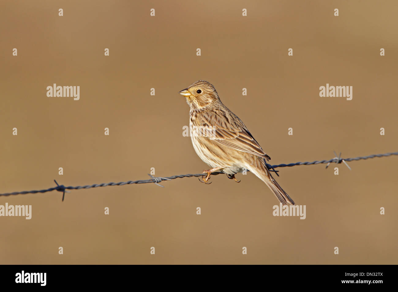 Corn Bunting perched on a barbwire fence - Stock Image