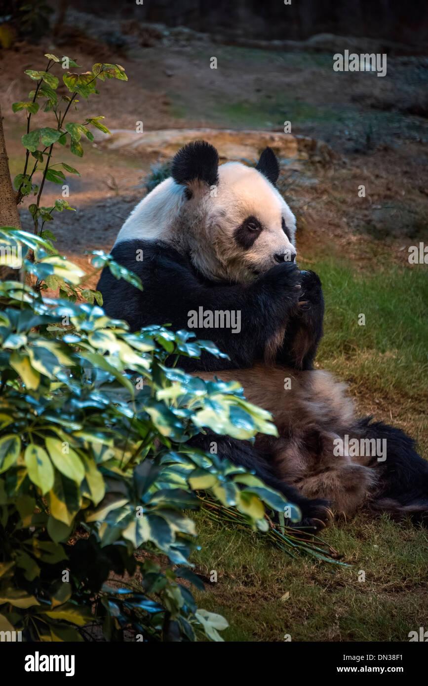 Giant Panda eating - Stock Image