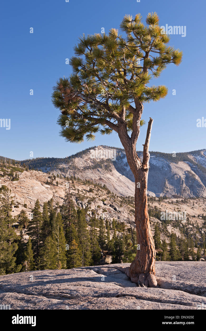 Jeffery Pine at Olmstead Point, Yosemite National Park, California, USA. Autumn (October) 2013. - Stock Image