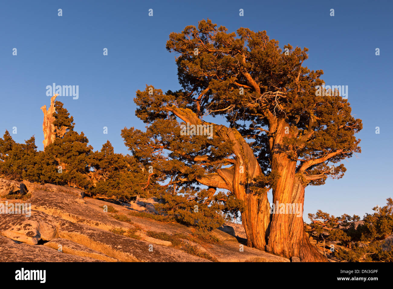 Ancient pine tree growing on the mountains above Olmstead Point, Yosemite, California, USA. Autumn (October) 2013. - Stock Image