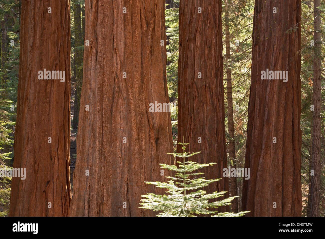 Giant Sequoia trees (Sequoiadendron giganteum) in Mariposa Grove, Yosemite National Park, California, USA. - Stock Image