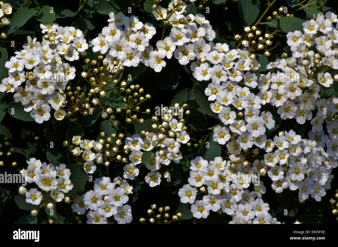 Tiny white bridals wreath flowers spiraea blooming on the shrub in tiny white bridals wreath flowers spiraea blooming on the shrub in early spring mightylinksfo