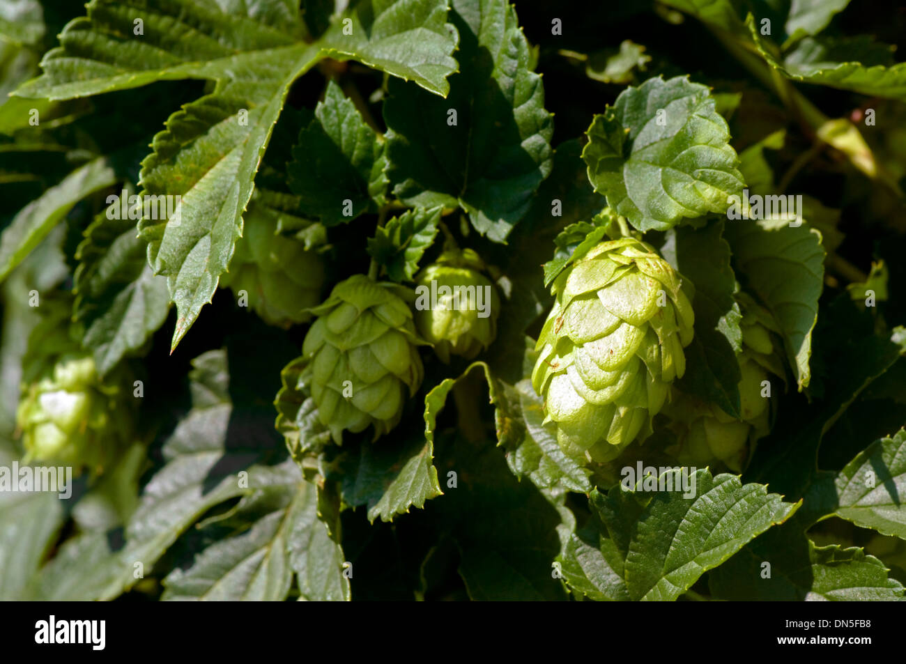 Closeup of hops growing on the vine. - Stock Image