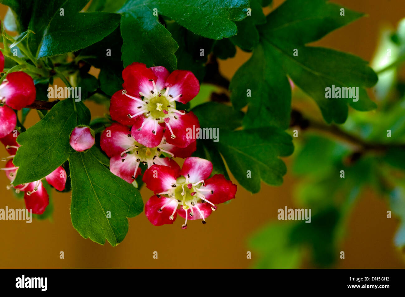 Red Flowers With White Centers Bloom In The Spring On A Tree Stock