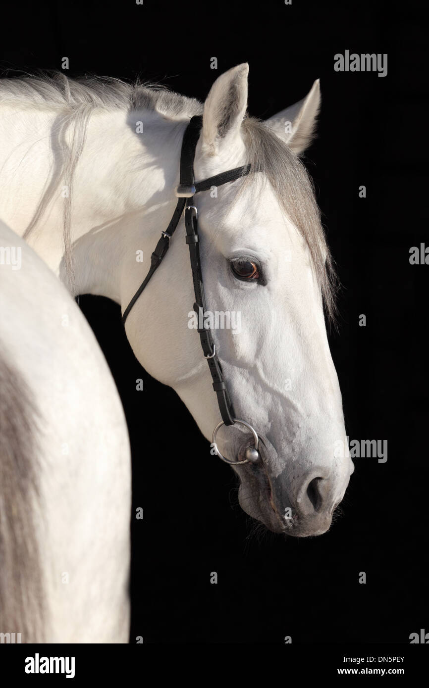 Pure spanish Andalusian horse , PRE - Stock Image