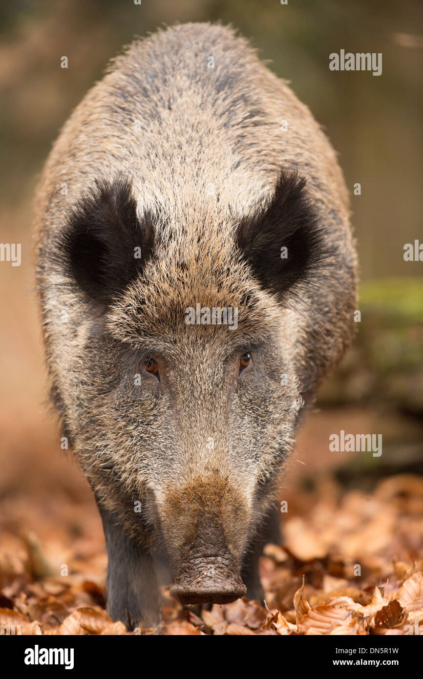 Close-up of an adult wild boar (sus scrofa) in autumn leaves, Bavarian Forest National Park - Stock Image