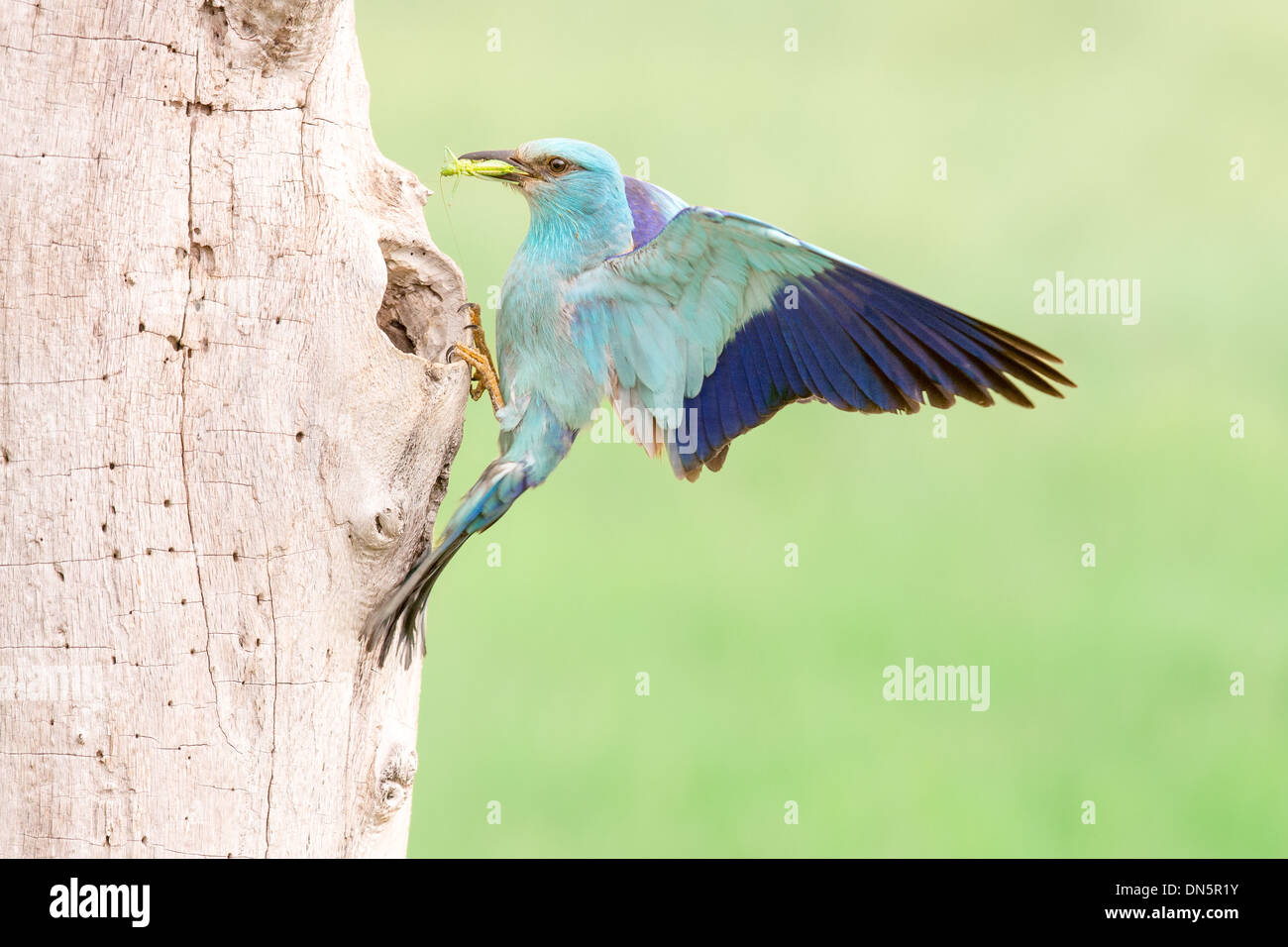 European roller (Coracias garrulus) returning to its nest hole with a cricket Stock Photo