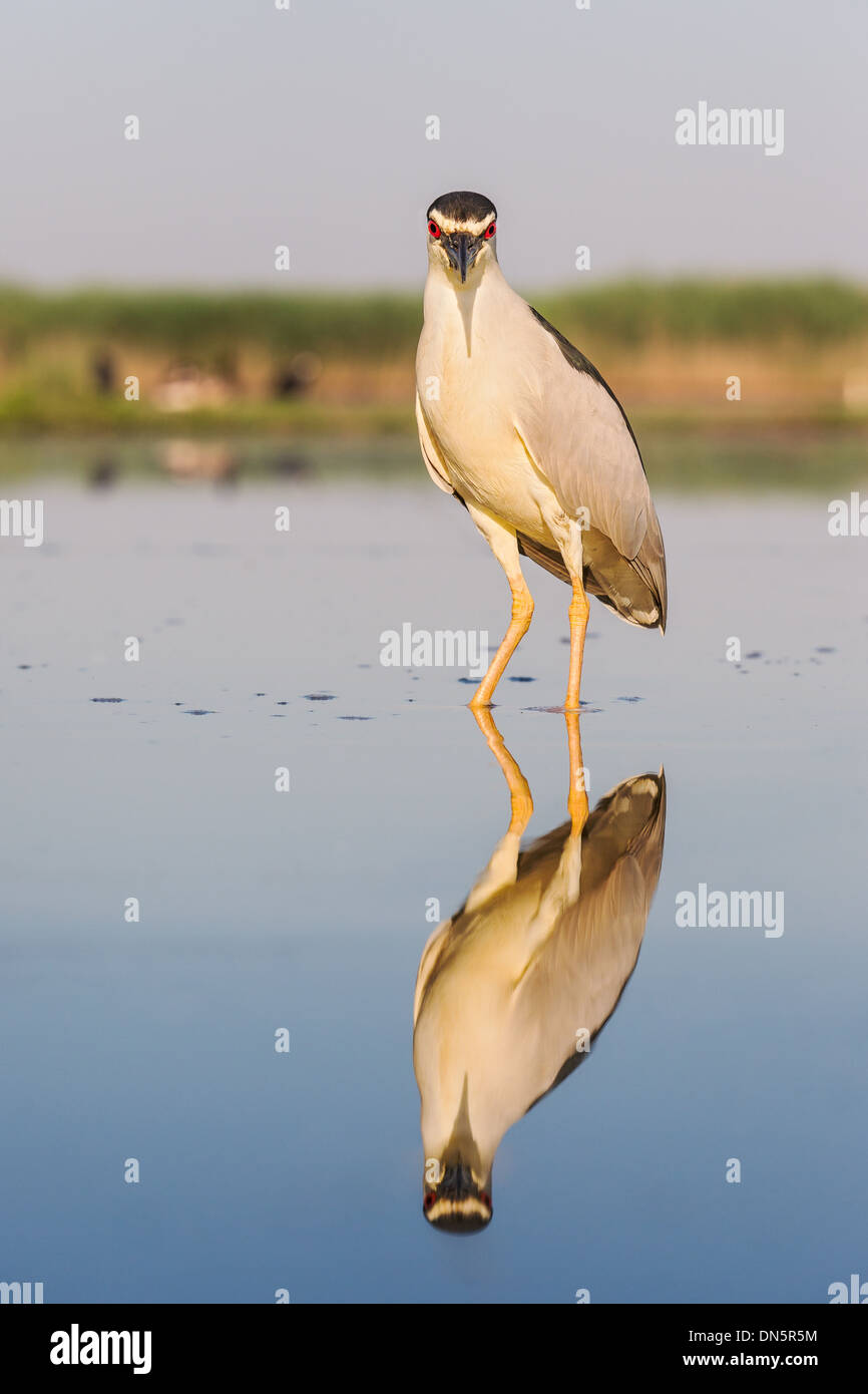 Black-crowned night heron (Nycticorax nycticorax) standing in shallow water in a marsh - Stock Image