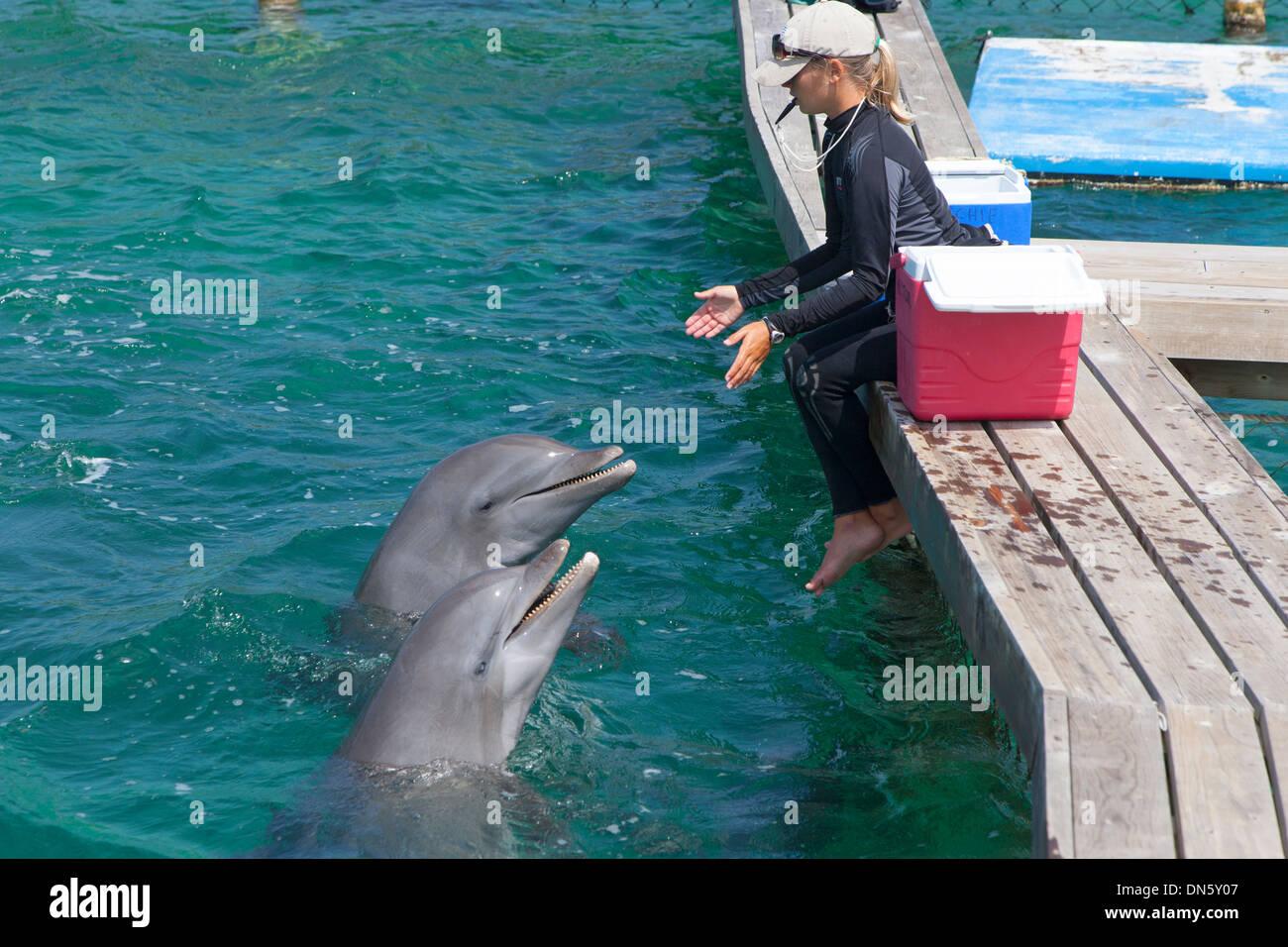 Bottle-nosed Dolphins Tursiops truncatus at the Marine Institute Bay Islands Honduras Stock Photo