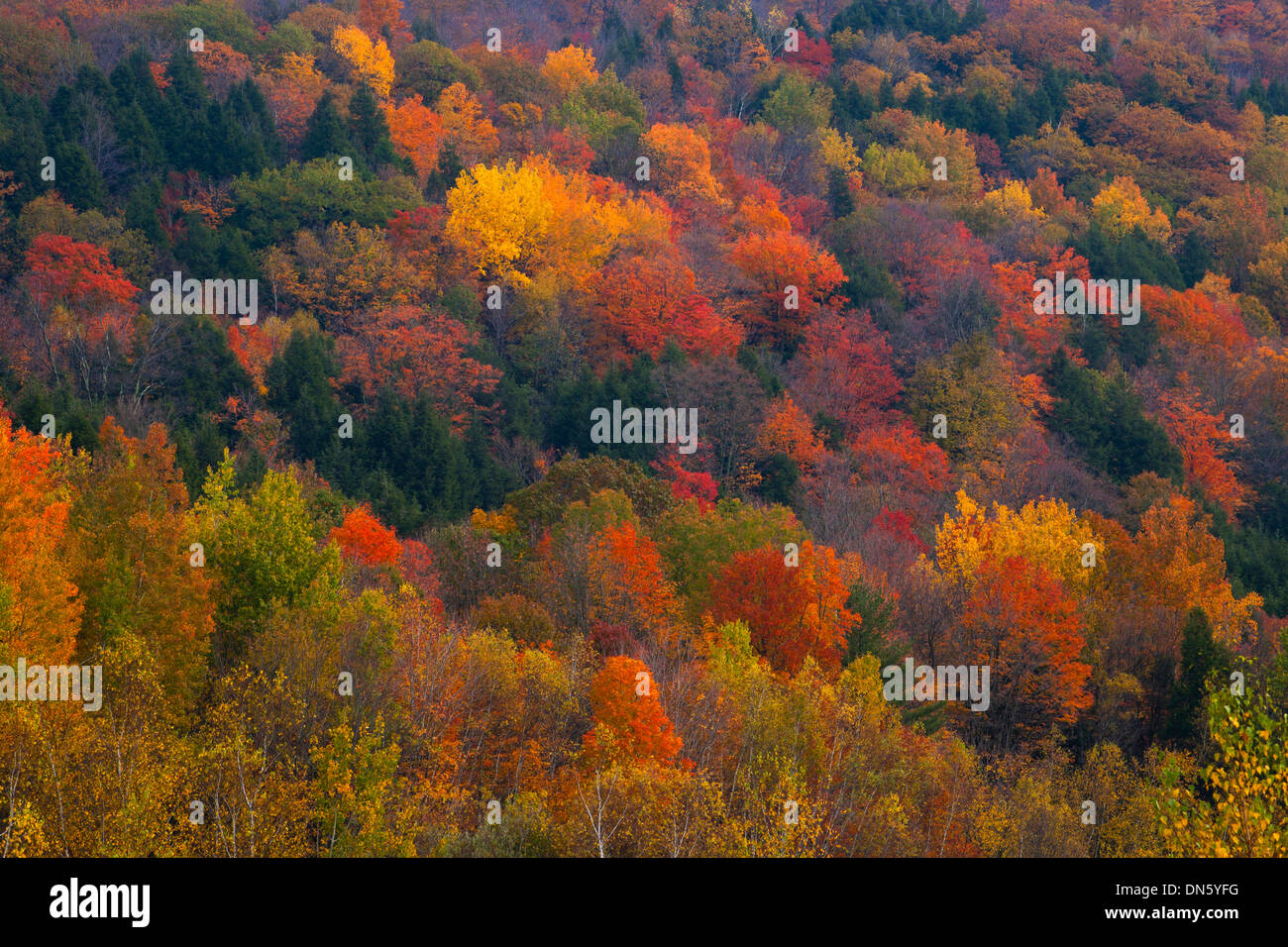 Forest in autumn, Eastern Townships, Quebec, Canada - Stock Image