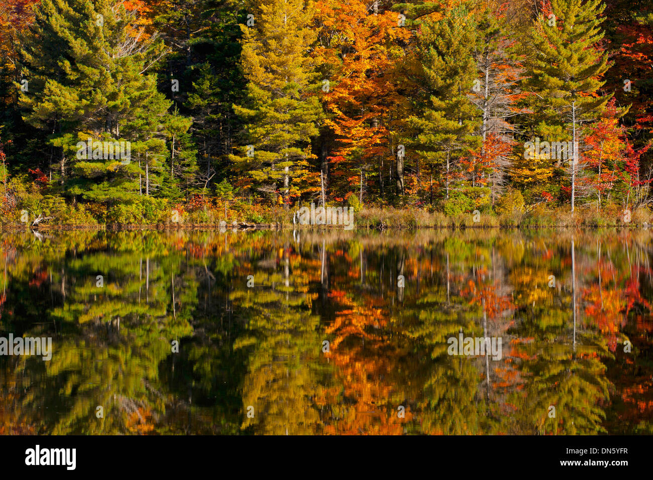 Forest being reflected in beaver pond in autumn, Eastern Townships, West Bolton, Quebec, Canada - Stock Image
