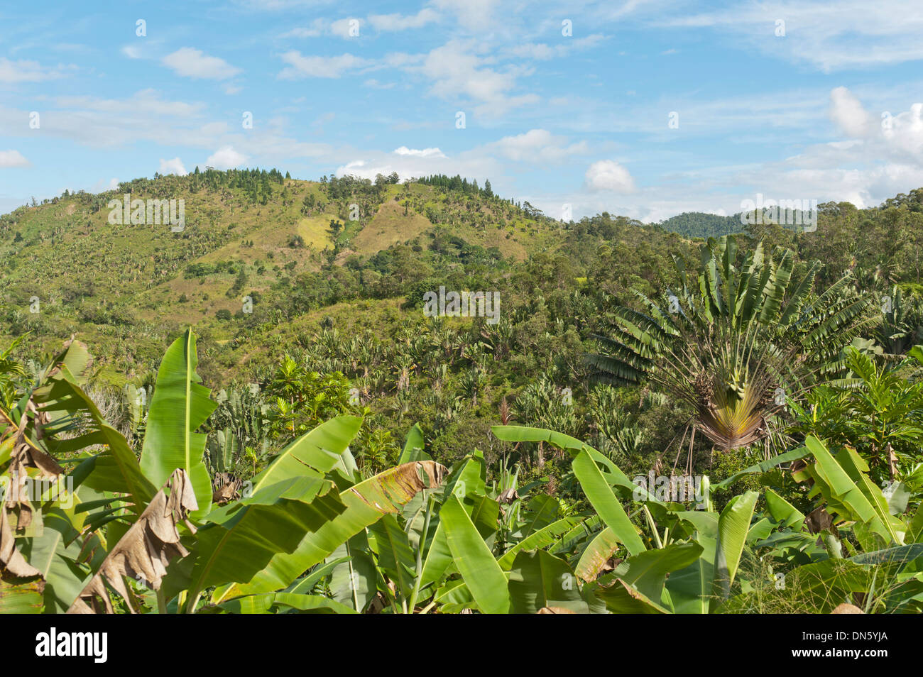 Forest of Traveller's Trees or Traveller's Palms (Ravenala madagascariensis), in their natural habitat near Manakara, Madagascar - Stock Image