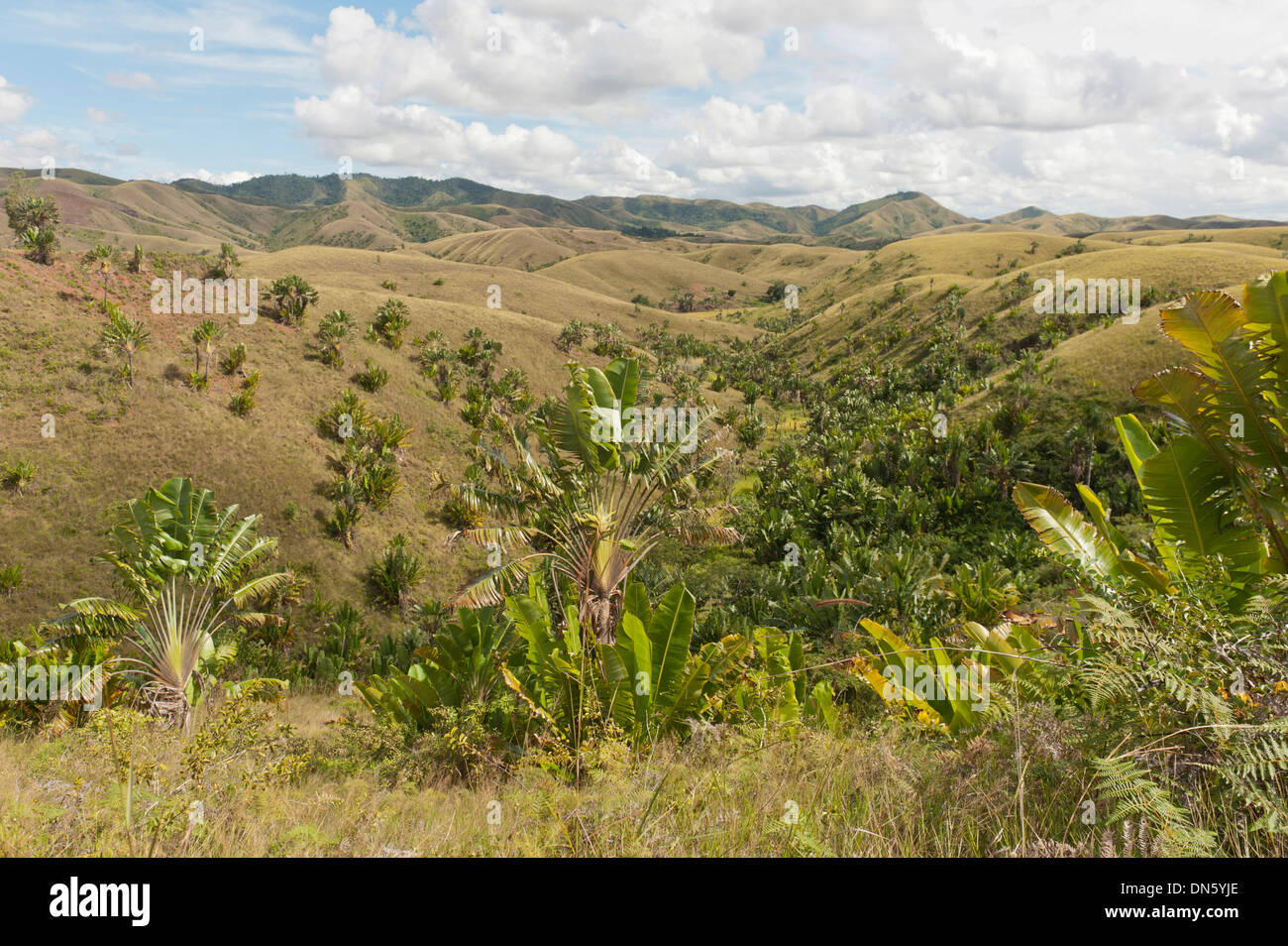 Deforested hills with forests of Traveller's Trees or Traveller's Palms (Ravenala madagascariensis) in the valleys, in their - Stock Image
