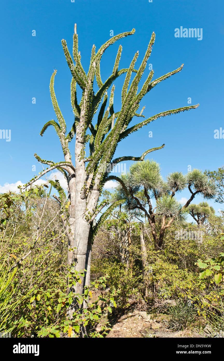 Madagascan Ocotillo or Alluaudia (Alluaudia procera), Didiereaceae, Andohahela National Park, near Fort-Dauphin or Tolagnaro - Stock Image