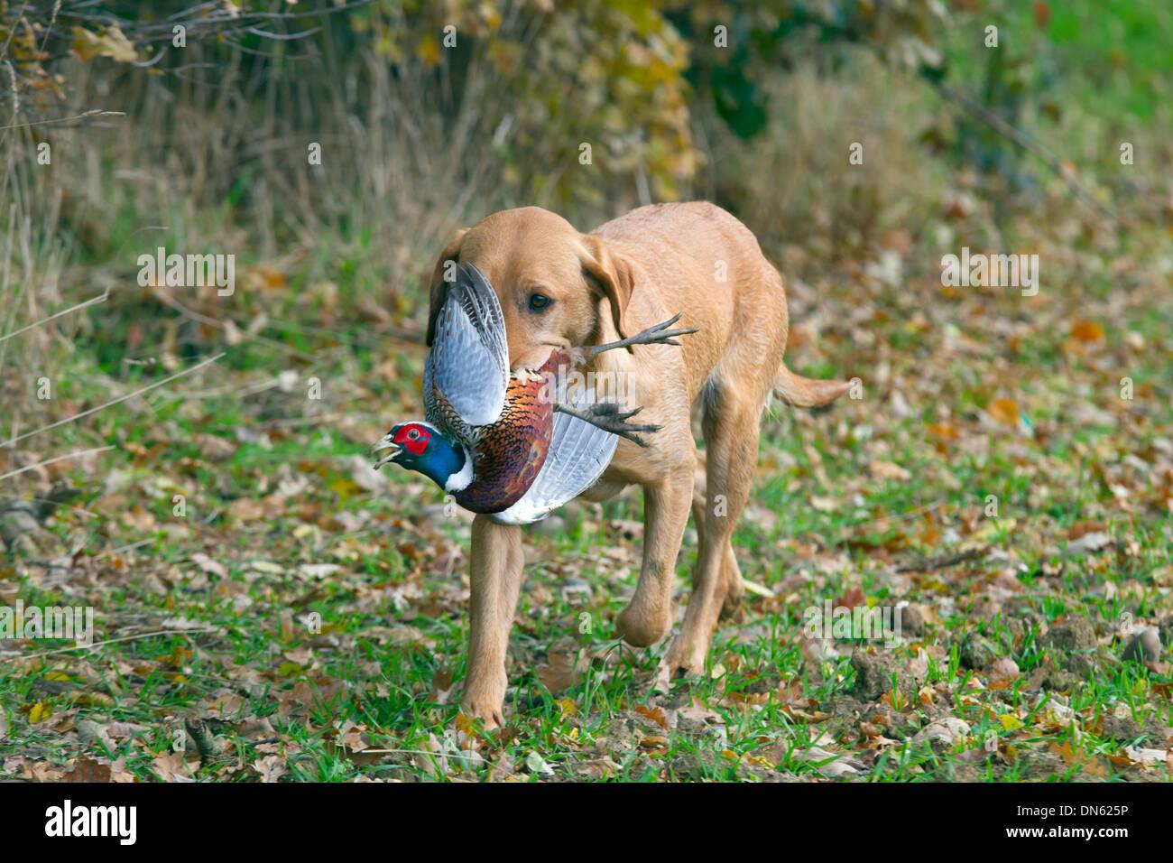 Yellow Labrador carrying shot pheasant - Stock Image