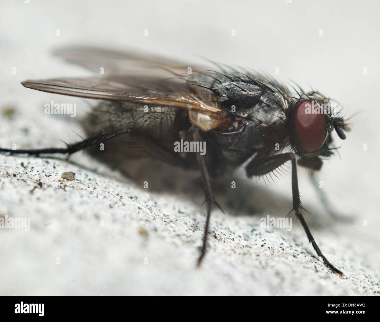 fly on white background of close-up - Stock Image