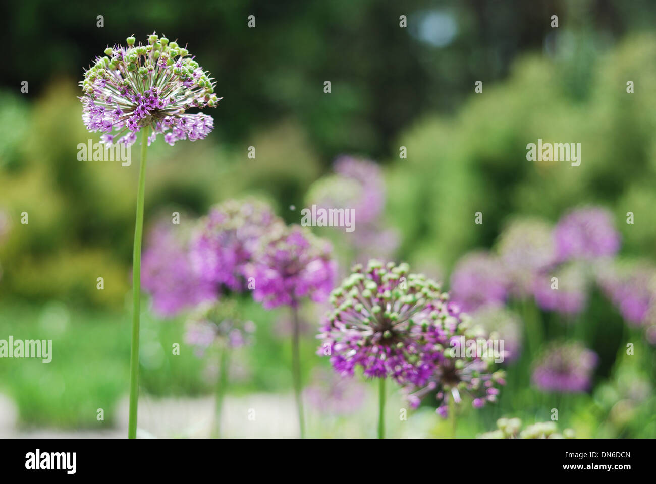 Round violet inflorescences against the blurred green garden Stock Photo