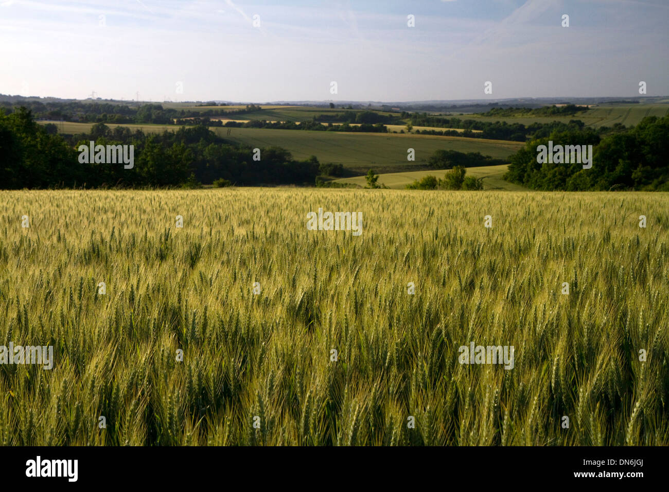 Wheat field west of Angouleme in southwestern France. - Stock Image