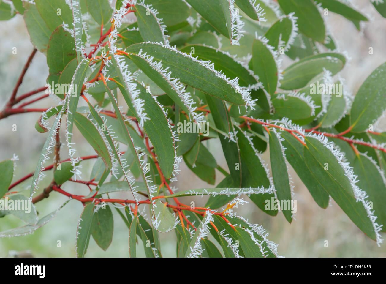 Frost on leaves of Eucalyptus niphophila (= Eucalyptus pauciflora ssp. niphophila) // givre sur feuilles d'Eucalyptus niphophila - Stock Image