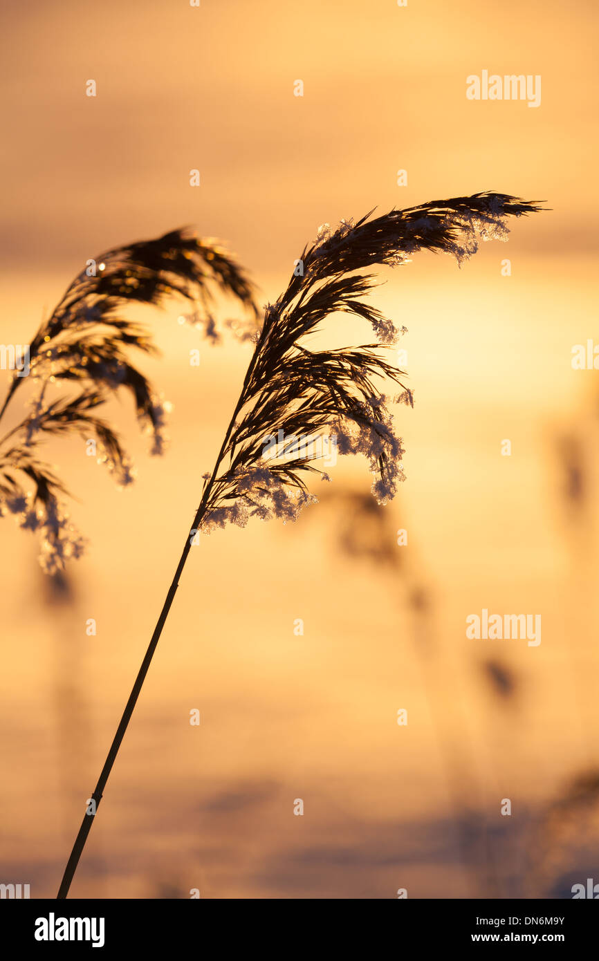 Frosty plants in winter sunset - Stock Image