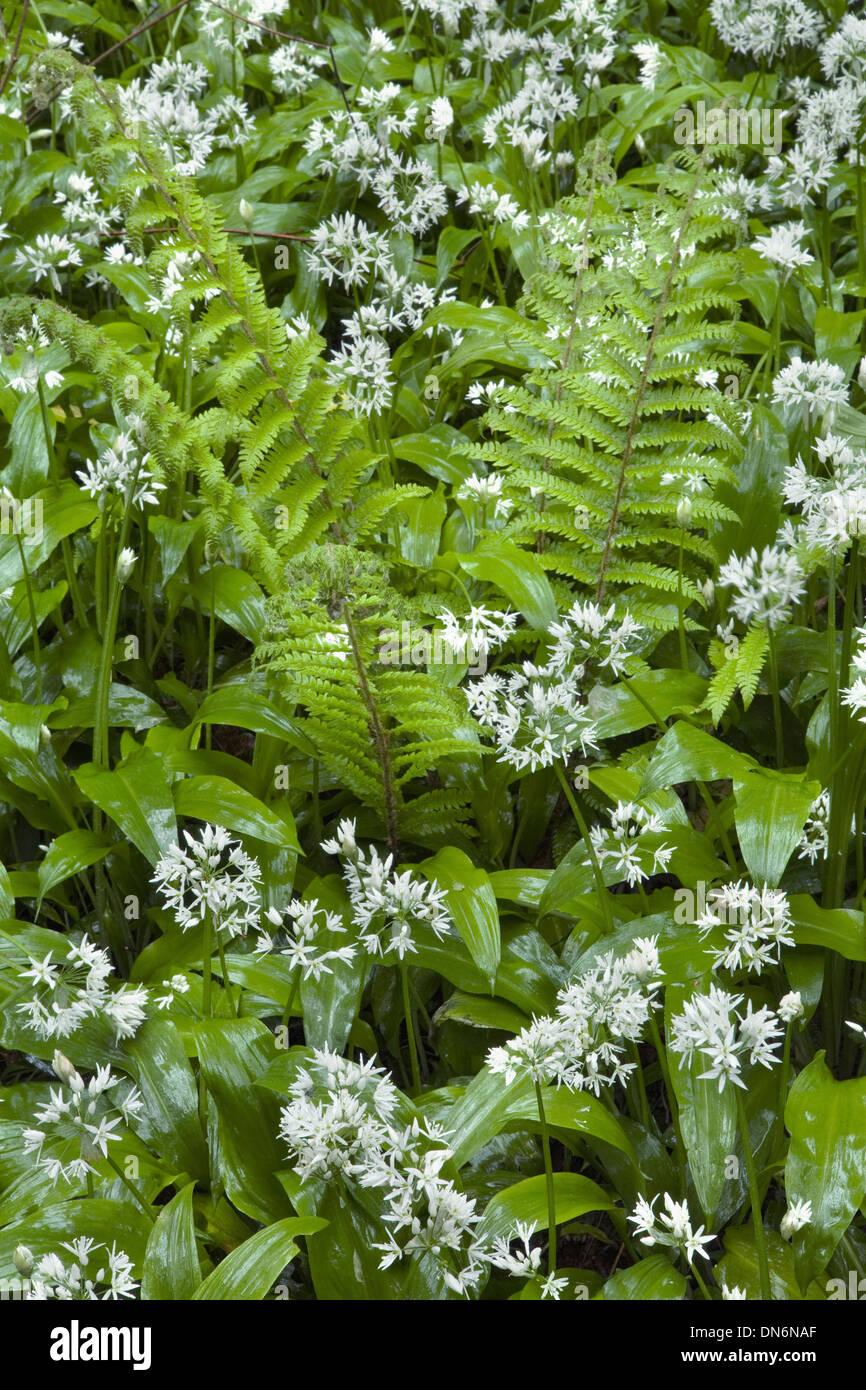 Wild Garlic or Ramsoms, Allium ursinum, and ferns in a woodland glade. Stock Photo