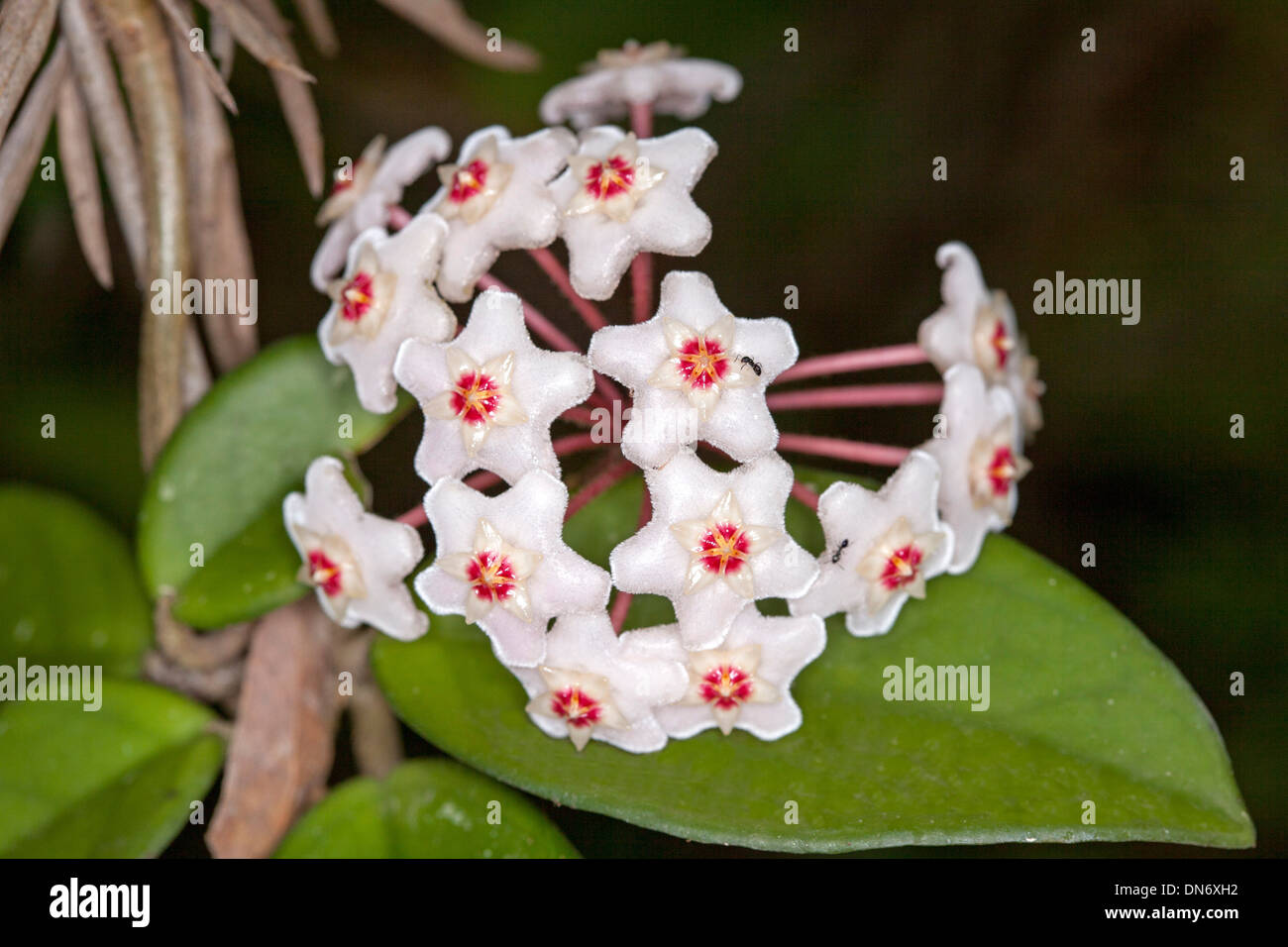 Cluster Of Attractive Red And White Flowers And Green Leaves Of Hoya