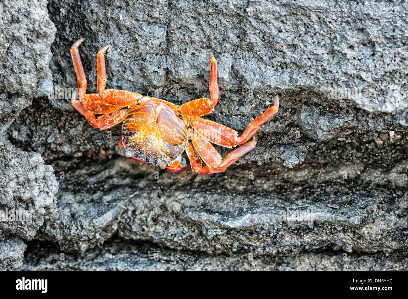 Sally Lightfoot crab (Grapsus grapsus) - Stock Image