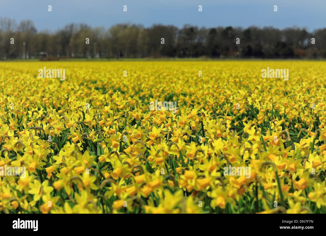 A sea of yellow: Flowering daffodils in spring, Noordwijk, South Holland, The Netherlands. - Stock Image