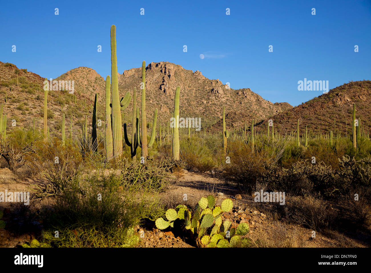 View of Saguaro National Park, Arizona, United States of America, USA at sunset. Landscape, nature, wilderness, plants - Stock Image
