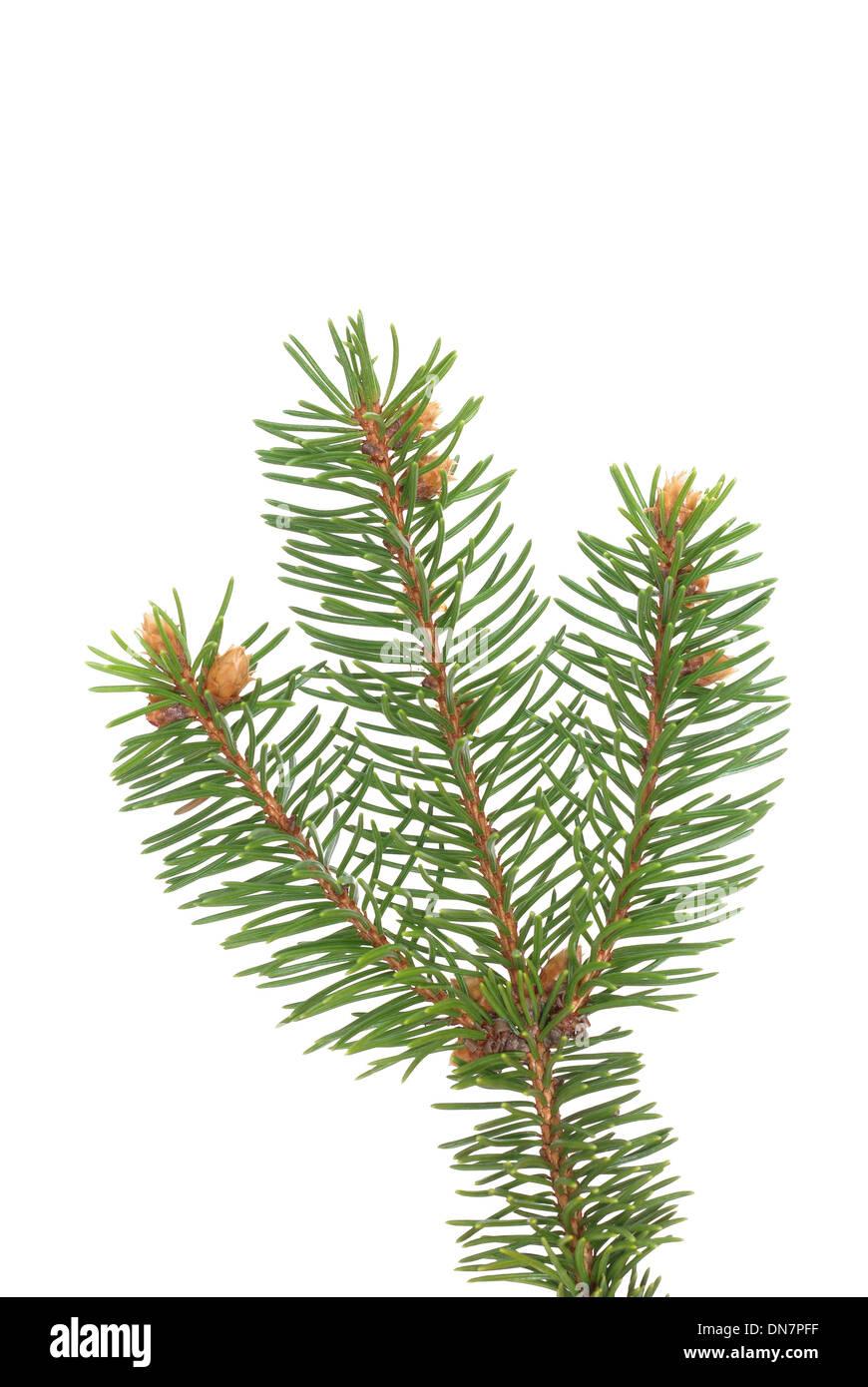 spruce's twig on white background - Stock Image