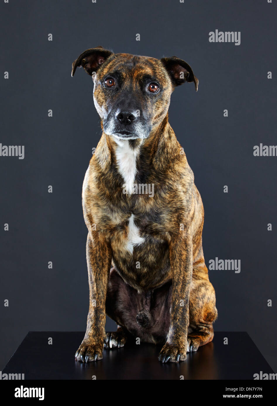 Staffordshire Bull Terrier cross. - Stock Image