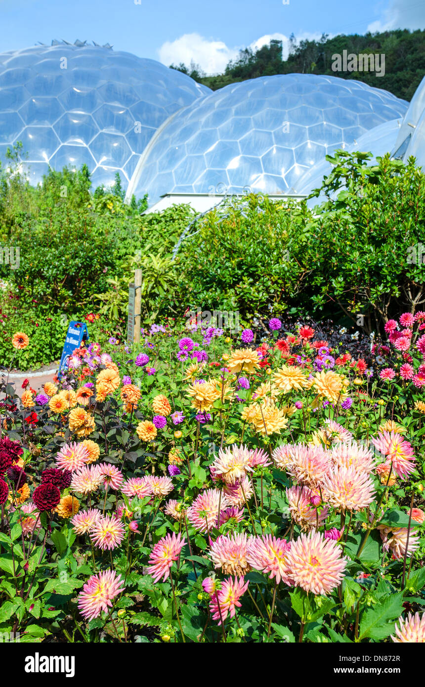 summer flowers at the eden project in cornwall, uk - Stock Image