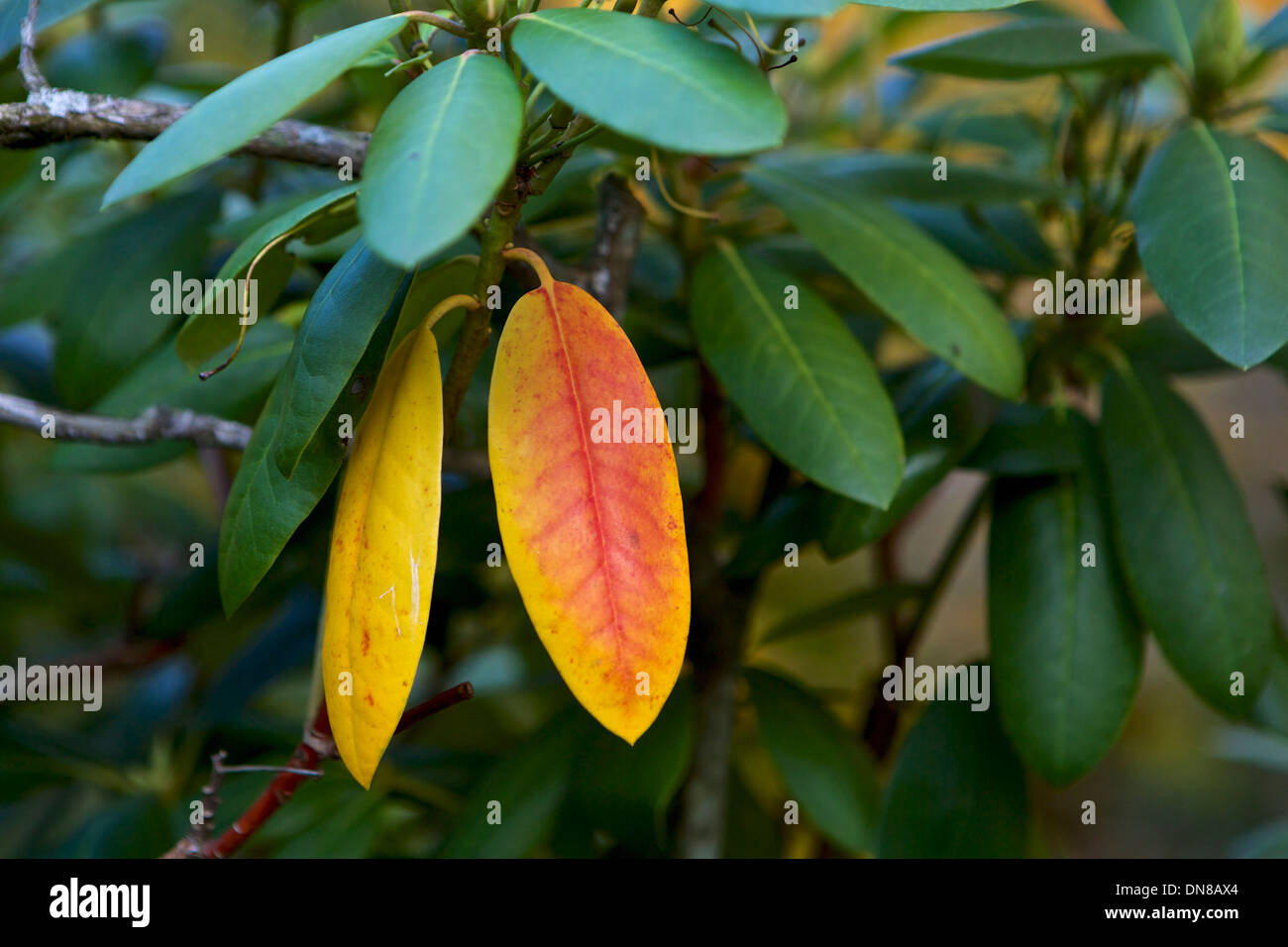 Orange - red leaf on a Rhododendron tree - Stock Image