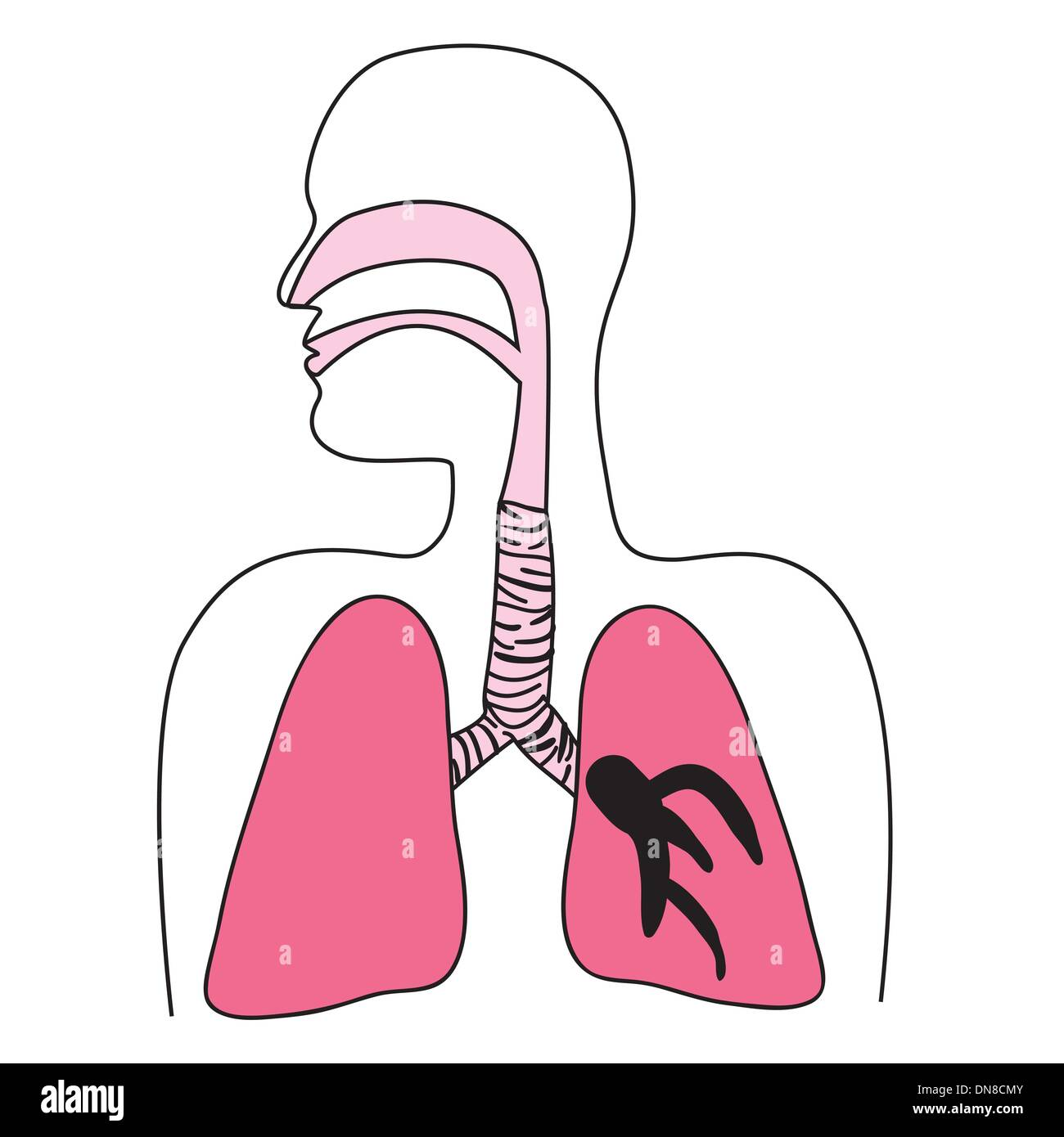 Human Respiratory System High Resolution Stock Photography And