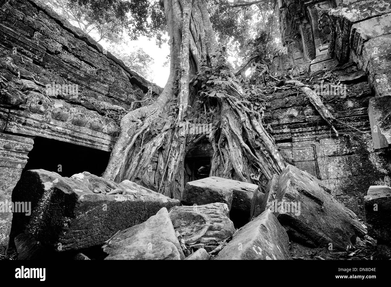 Ta Prohm's been largely left to the clutches of the living jungle - Stock Image