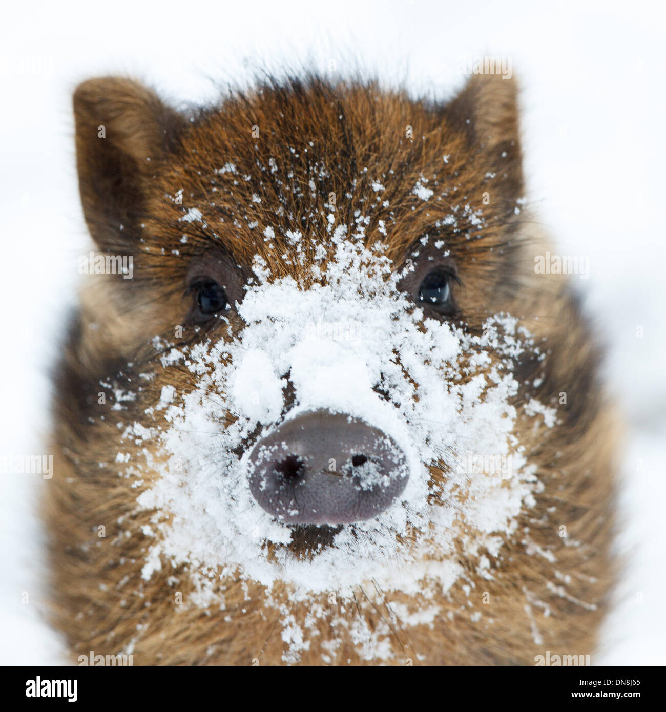 A young wild boar is in winter in the snow in search of food. His snout is covered with snow. - Stock Image