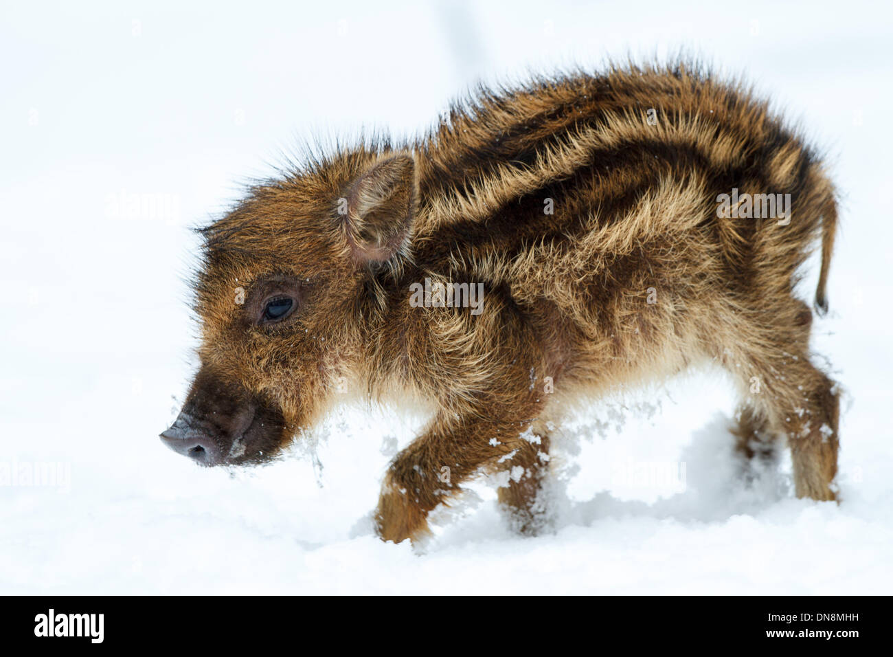 A young wild boar is in winter in the snow in search of food - Stock Image