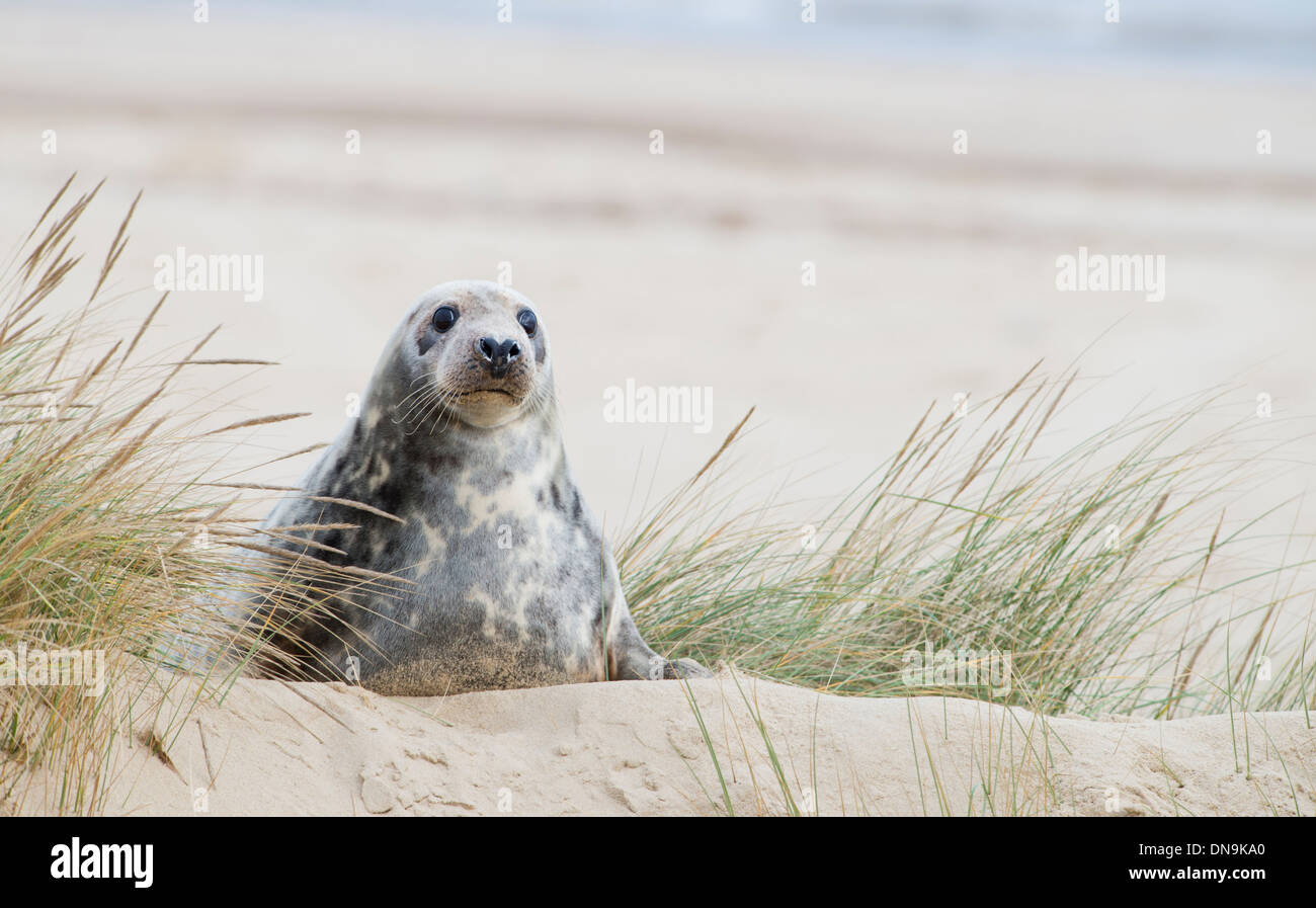 Grey seal on the sand dunes - Stock Image