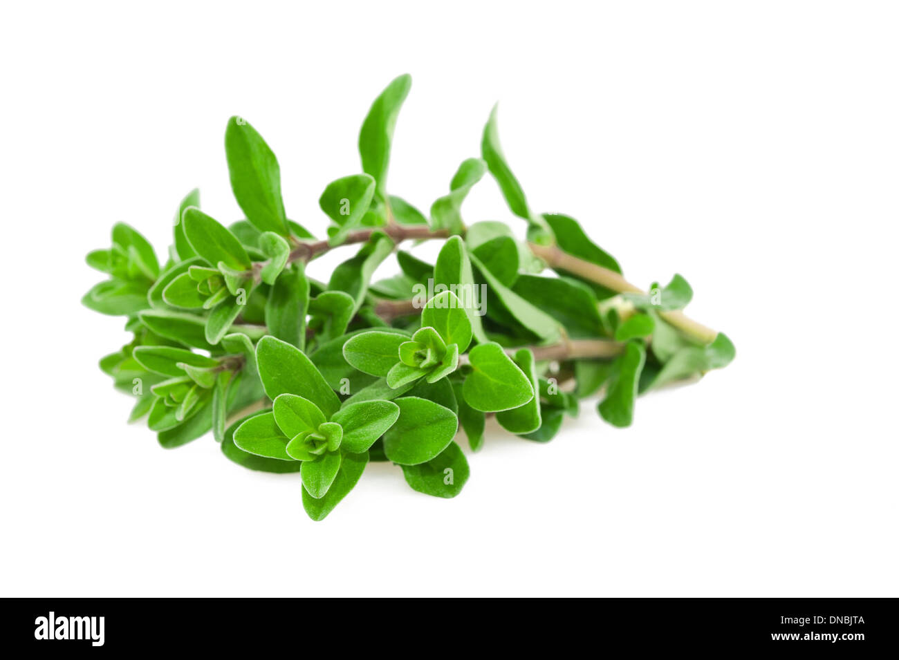 Fresh-picked marjoram isolated on white - Stock Image