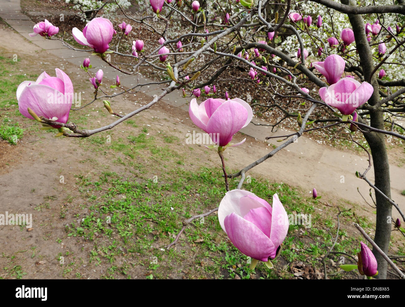 Magnolia Tree With Big Pink Flowers On The Branches Stock Photo