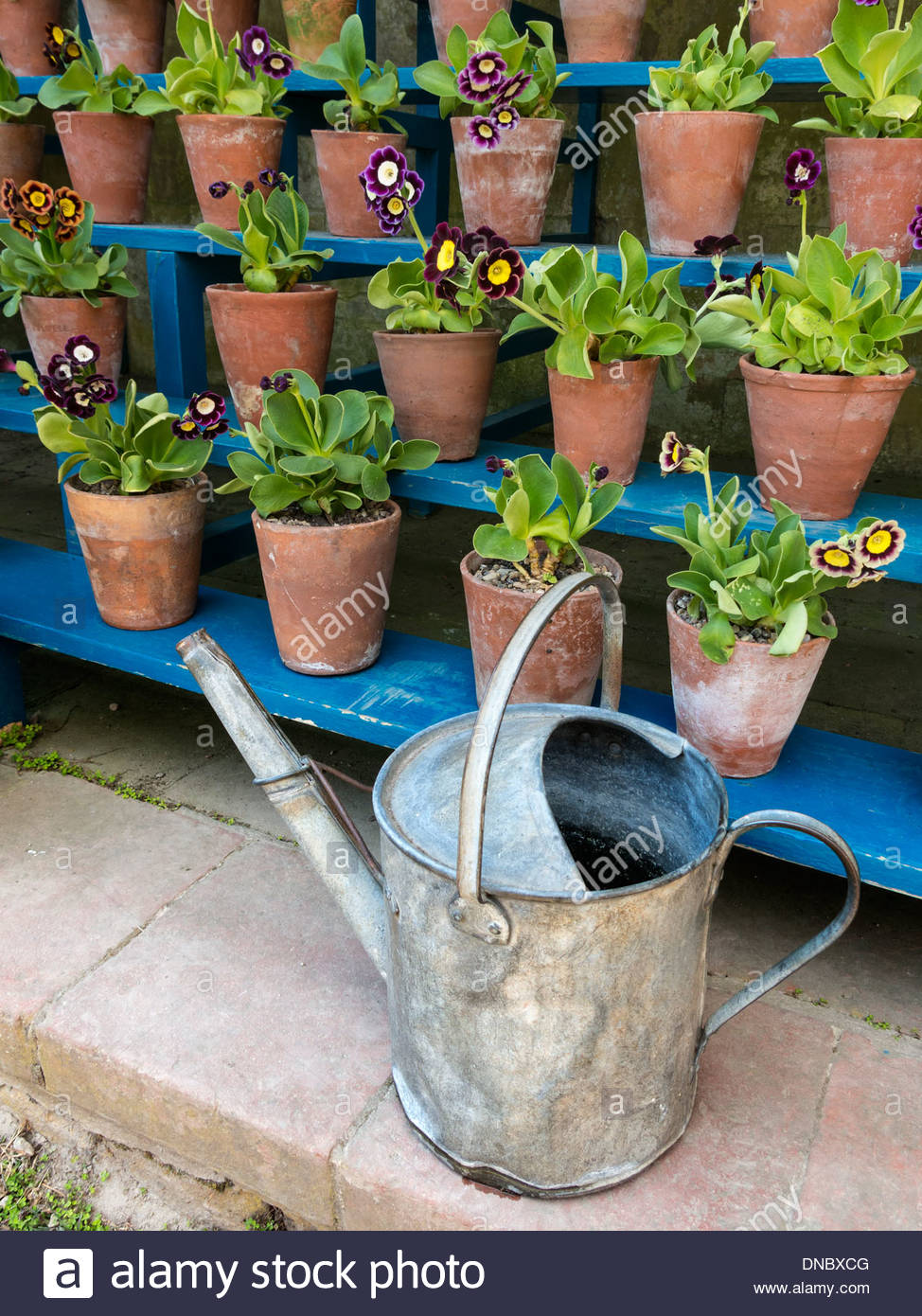 Old galvanised watering can in front of auricula theatre, Ticknall, Derbyshire, England, UK - Stock Image