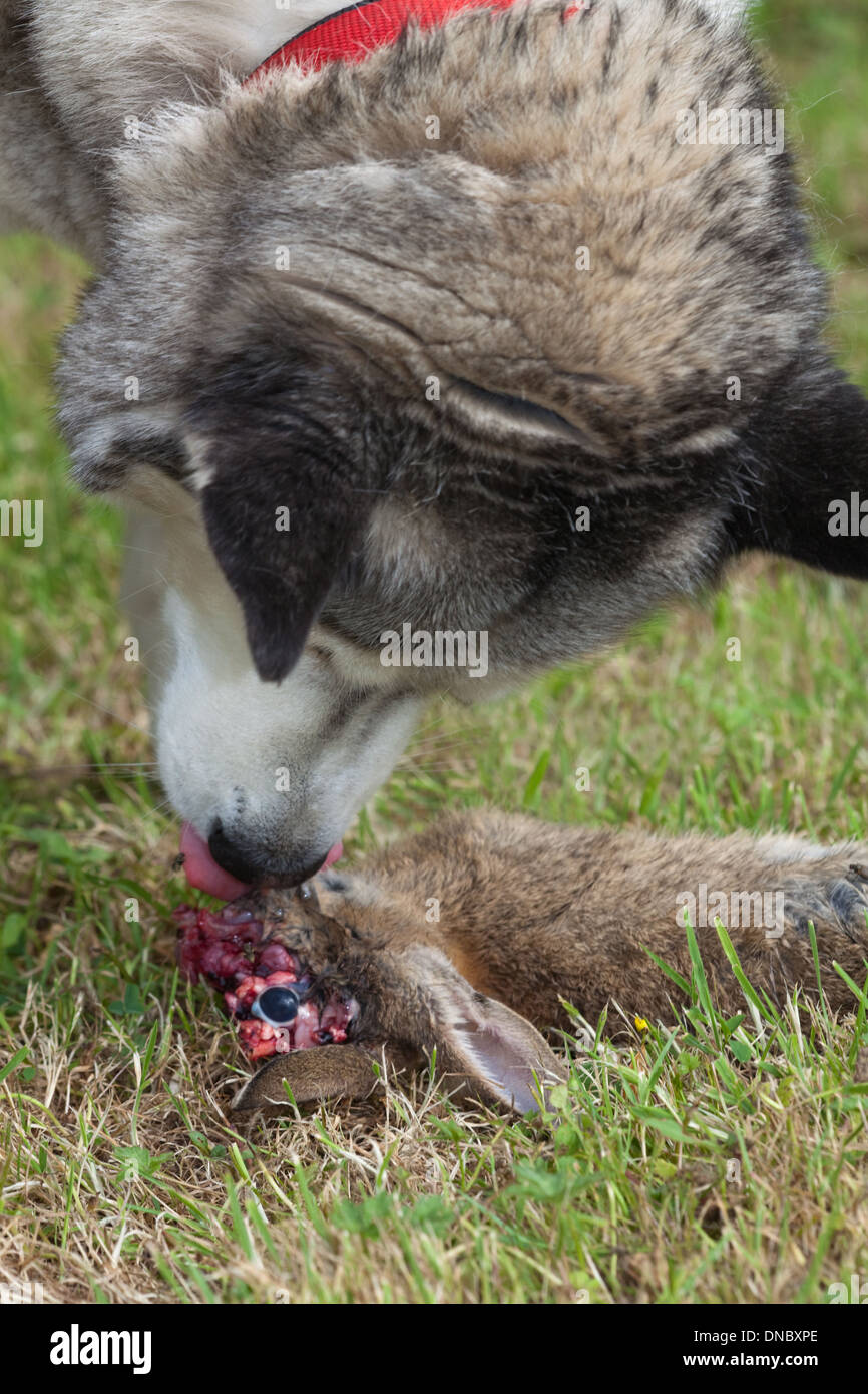 Siberian Husky (Canis lupus familiaris). About to eat a killed wild Rabbit (Oryctolagus cuniculus), head end, carcass. - Stock Image