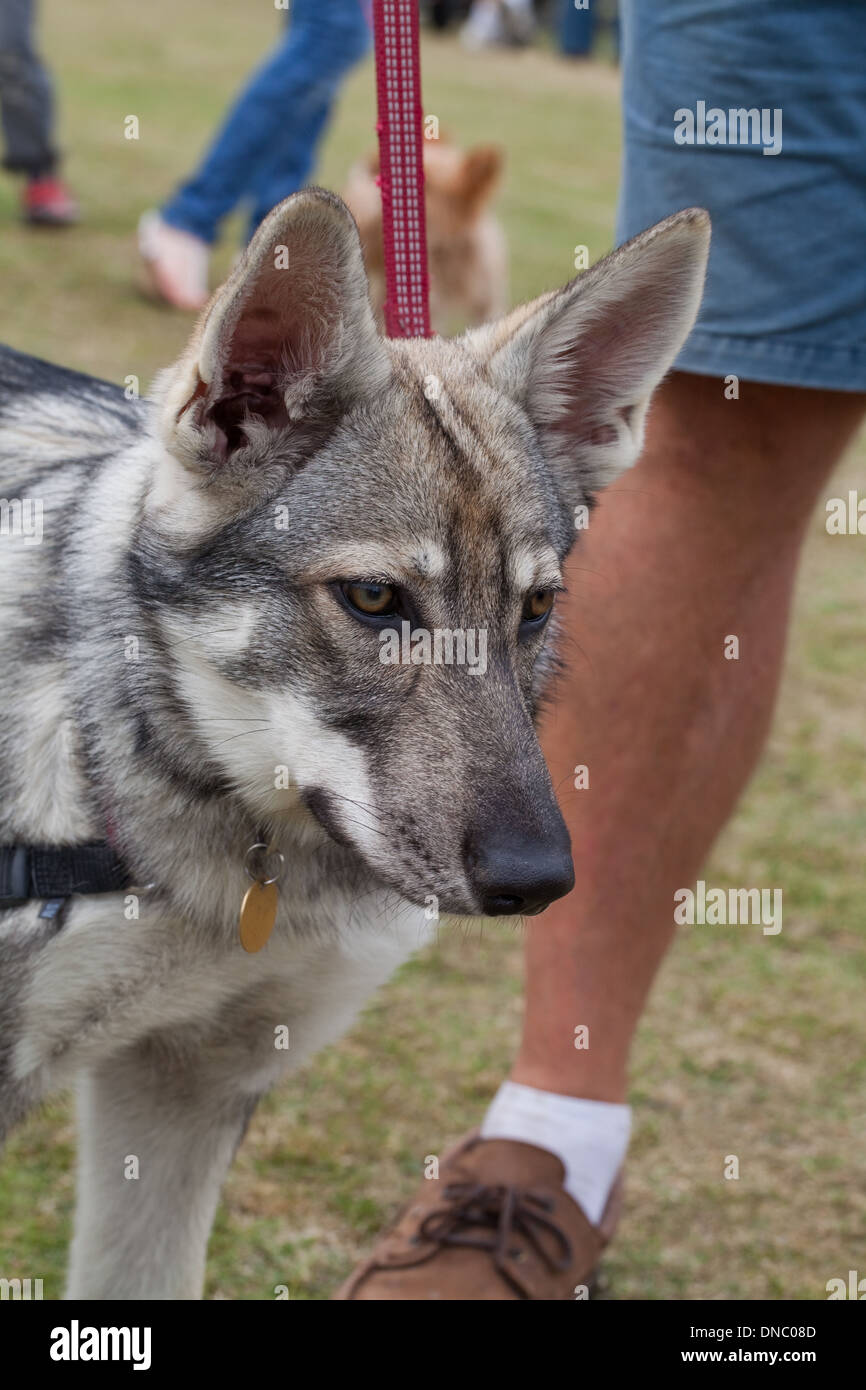 Wolf Dog Stock Photos Amp Wolf Dog Stock Images Alamy