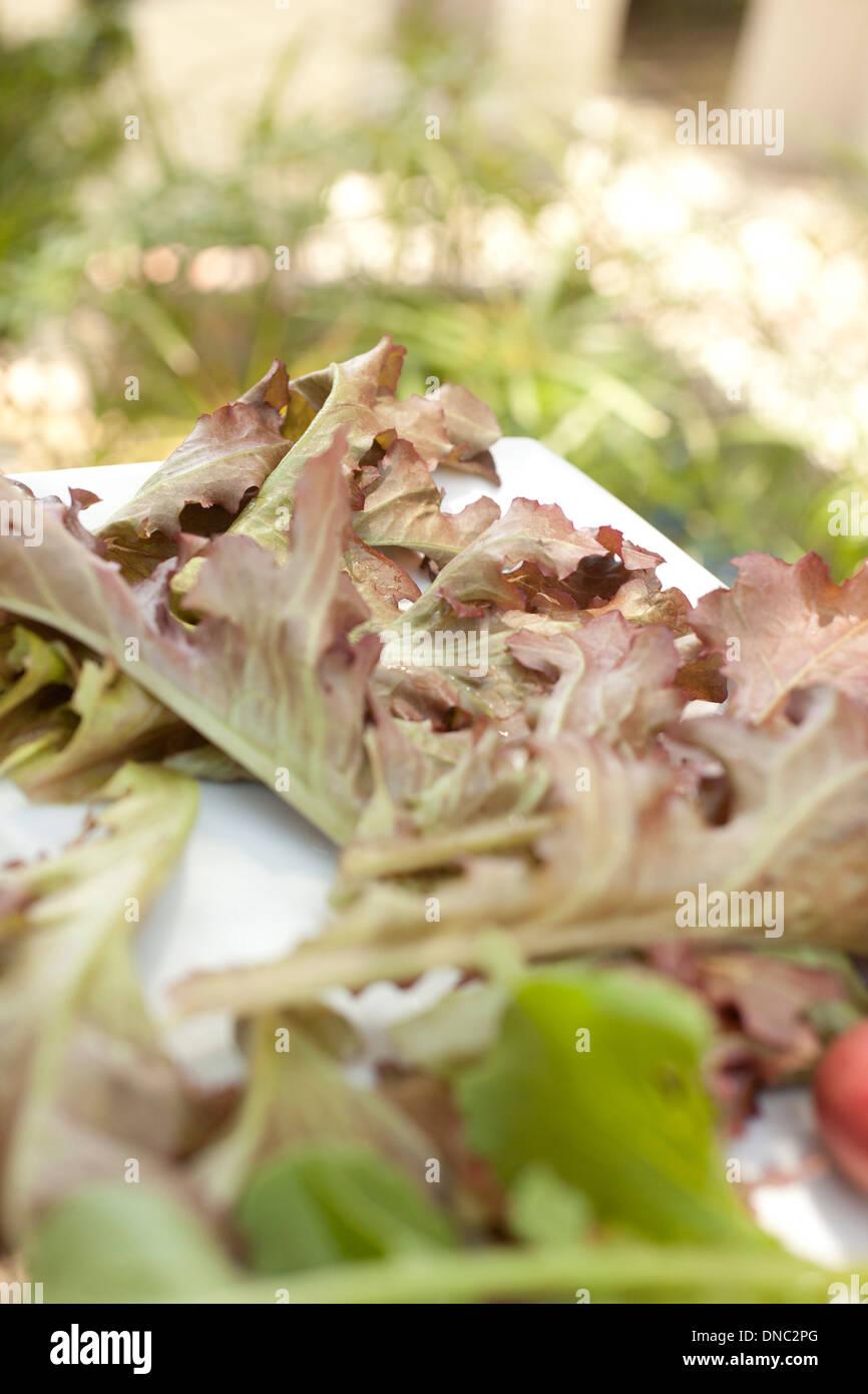 red lettuce outside - Stock Image