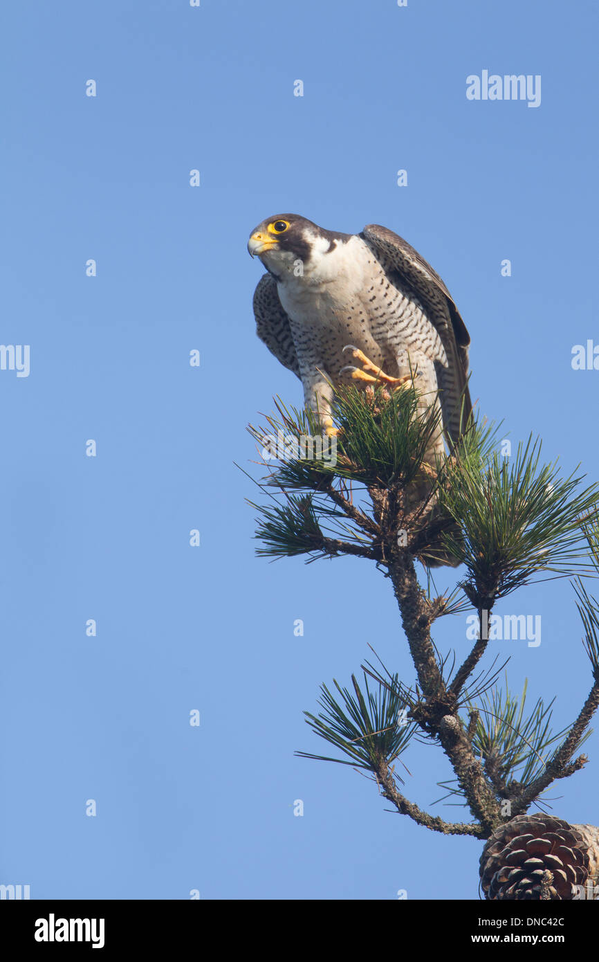 Peregrine Falcon Perched atop Pine Tree - Stock Image