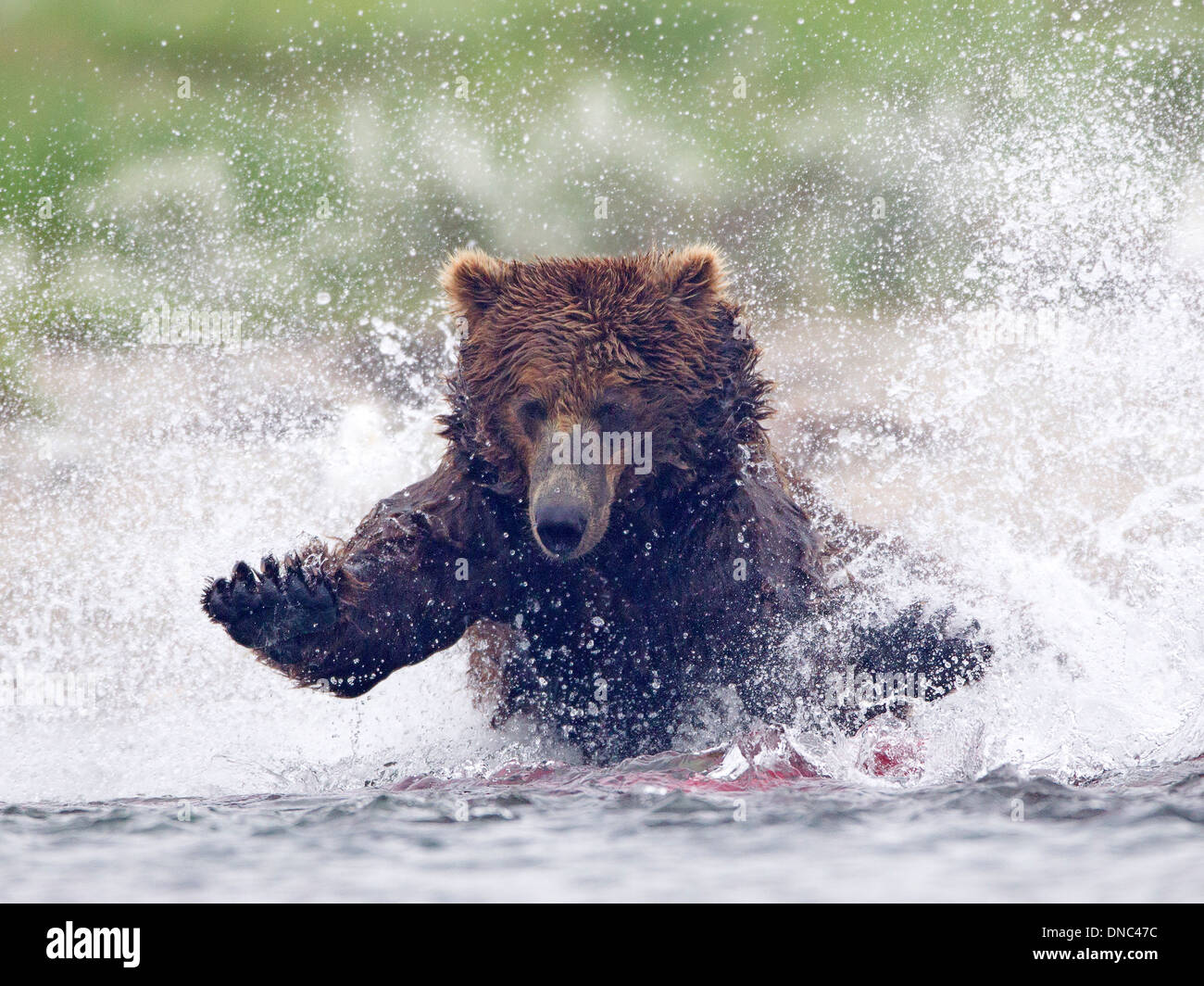 Alaskan Brown Bear Charging into River to Catch Salmon - Stock Image
