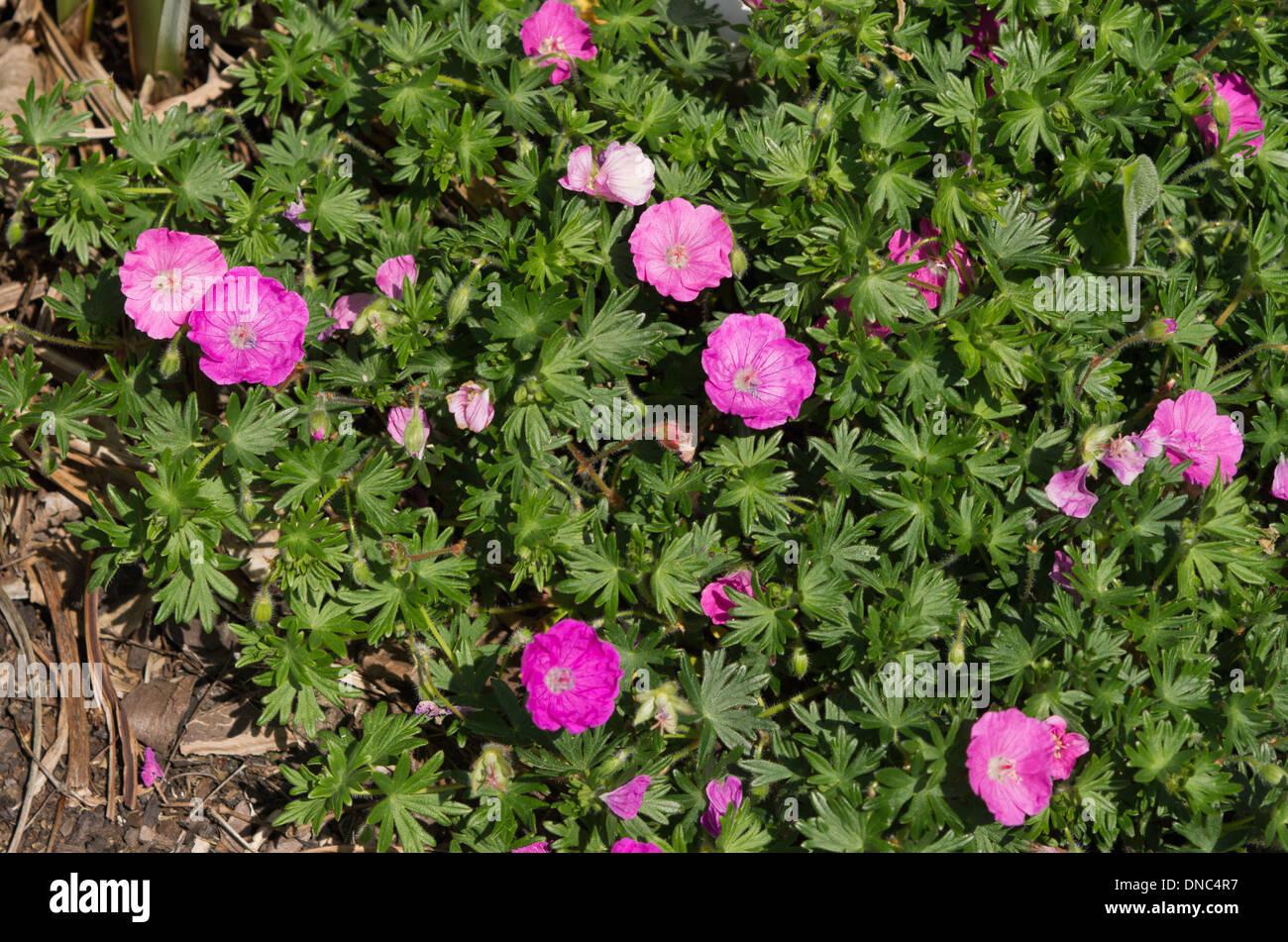 geranium sanguineum Shepherds Warning - Stock Image